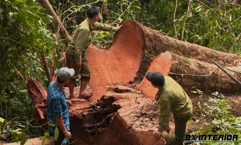 Gỗ non màu vàng hoặc đỏ nâu nhạt, khi cây già và để khô gỗ sẽ càng màu đỏ đậm. Vân gỗ đẹp, thớ gỗ mịn, đều và không bị xoắn.