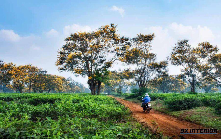 Tại Việt Nam, muồng đen mọc tự nhiên ở các vùng đồi núi khắp các tỉnh trong cả nước nhưng phổ biến nhất là tại khu vực miền Trung, Tây Nguyên